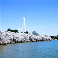 DC Cherry Blossoms 2020