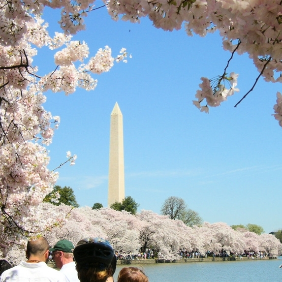 DC Cherry Blossoms 2019